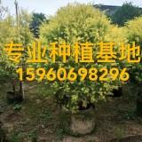 高1.2米球层金球报价 黄金香柳球批发 黄千层价格 精品黄金宝树