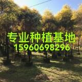 高3米黄金香柳,千层金价格