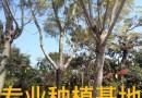 25公分蓝花楹树价格批发