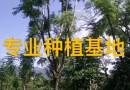 15公分蓝花楹树