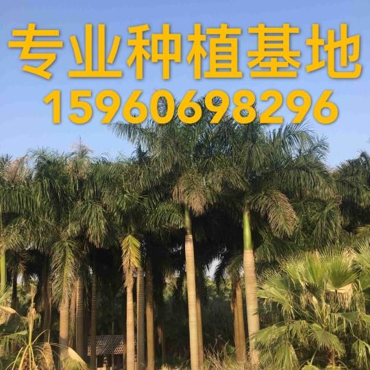 高12米棕榈大王椰子树