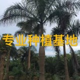 高6米大王椰子树