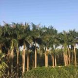 福建大王椰子价格批发8米高