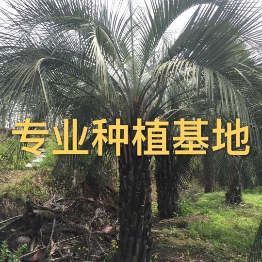 杆高2米布迪椰子树价格