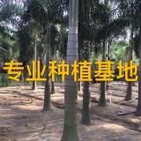 高6米狐尾椰子批发