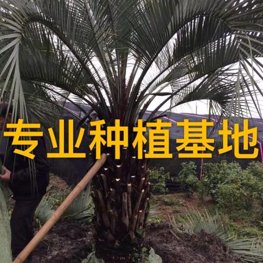 杆高50公分布迪椰子报价
