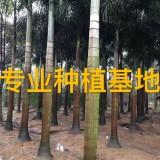 高3米狐尾椰子树批发