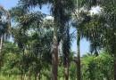 高5米狐尾椰子价格报价
