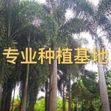 高8米狐尾椰子价格批发 狐尾椰子树报价