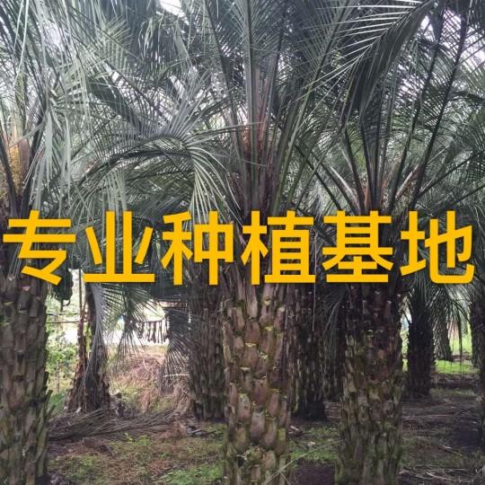杆高2.5米布迪椰子批发