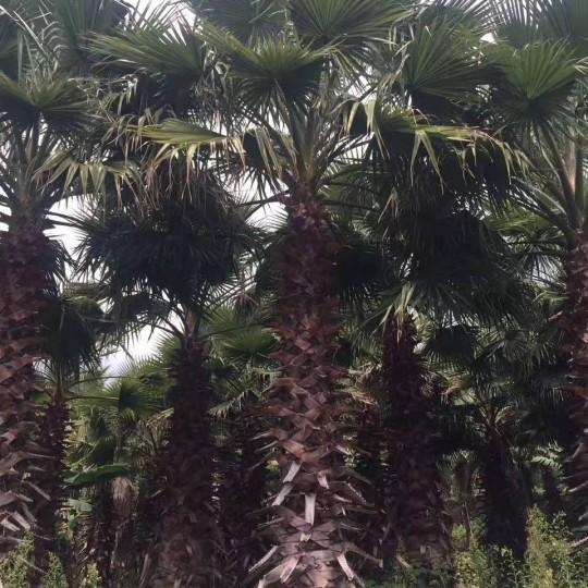 高10米华盛顿棕榈 老人葵基地 华棕批发