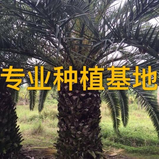 杆高1米精品加拿利海枣树