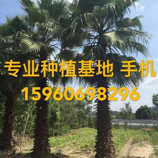 杆高5米老人葵价格 华棕批发 华盛顿棕榈价格