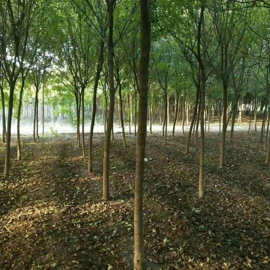 御景苗木场供应6公分五角枫 8公分五角枫 五角枫多少钱
