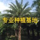 杆高4米银海枣中东海枣批发价格报价