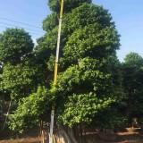造型小叶榕报价 造型榕树 小叶榕桩头桩景