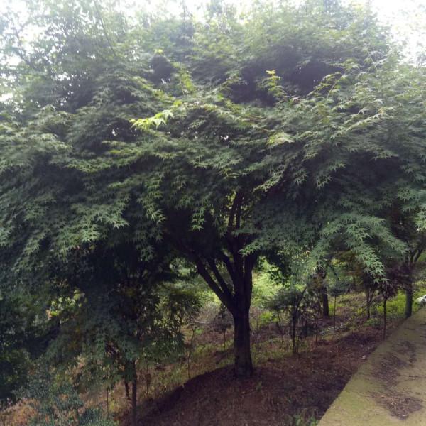 8公分鸡爪槭