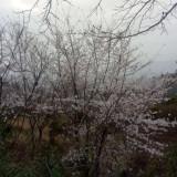 8公分日本早樱