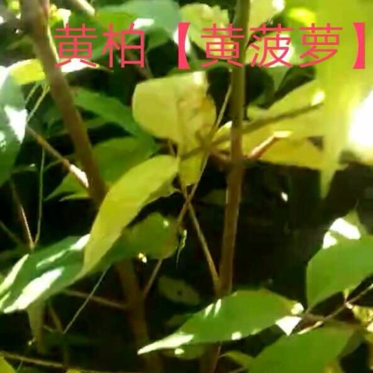 黄柏黄菠萝