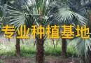 高5米蒲葵树价格批发报价