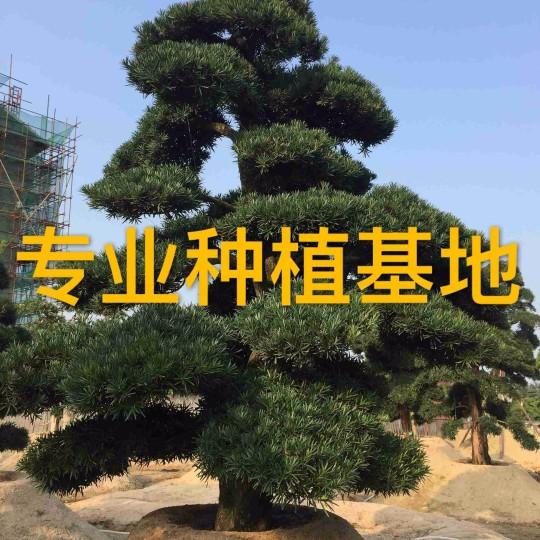 日本罗汉松价格 造型罗汉松批发