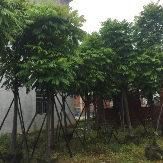 规格12公分人面子树