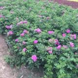 四季玫瑰50公分高