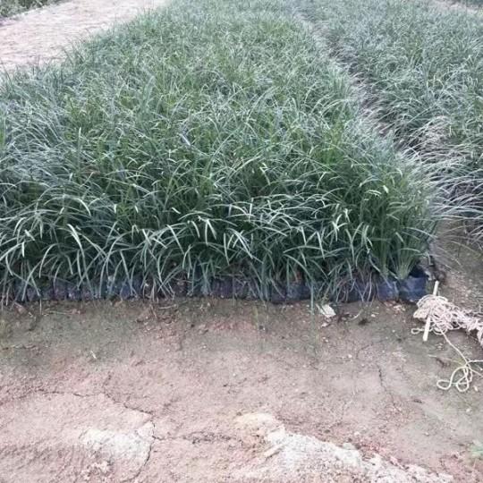 麦冬 高15公分 矮麦冬价格