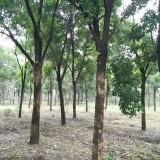 江苏重阳木基地 胸径10-20公分重阳木价格