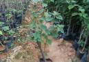 35厘米四季红三角梅小苗