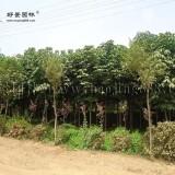 白花七叶树