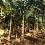 假槟榔基地批发 杆高3米