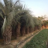 自家基地布迪椰子批发 杆高3米