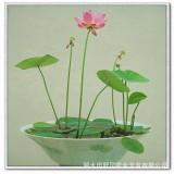 碗莲 花莲 种藕