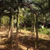 假槟榔基地批发 杆高4米
