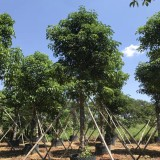 15公分优质秋枫袋苗