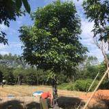 18公分优质秋枫袋苗