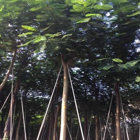 规格15公分凤凰木