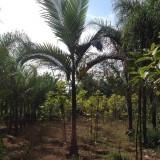 假槟榔基地批发 杆高2米