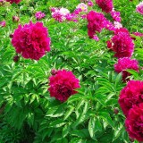 观赏芍药 牡丹 苗 鲜切花
