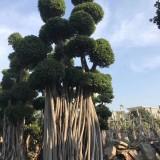 7米高造型榕树桩