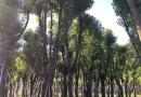 造型榕   高1米造型榕树