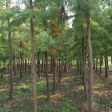 7公分池杉