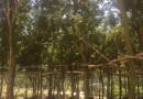 少花黄花风铃木(米径12公分)