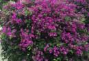 紫色三角梅 精品球 批发
