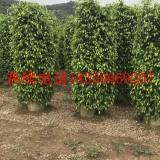 1.5米高垂叶榕