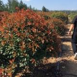 红叶石楠球苗圃直销  红叶石楠球批发价格