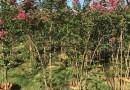 高2米丛生紫薇