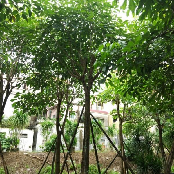 3米高精品洋红风铃木