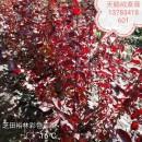 郑州裕林苗圃供天鹅绒紫薇小苗